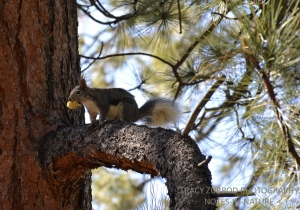 ABERT SQUIRREL WITH A MUSHROOM IN A PONDEROSA PINE