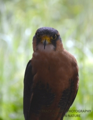 APLOMADO FALCON MALE