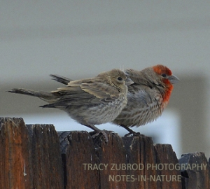 HOUSE FINCH FEMALE AND MALE