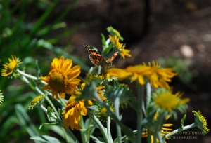 PAINTED LADY AND ORANGE MOUNTAIN DAISYS