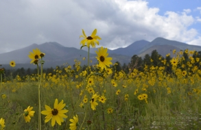 SAN FRANCISCO PEAKS WITH SUNFLOWERS