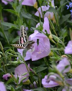 SPHINX MOTH AND SHOWY EVENING PRIMROSE