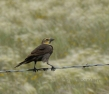YELLOW HEADED BLACKBIRD FEMALE