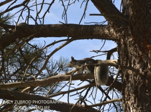 ABERT SQUIRREL