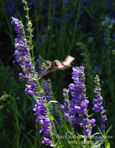 SPHINX MOTH AND BROAD TAIL HUMMINGBIRD