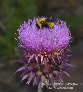 THISTLE AND SONORA BUMBLE BEE