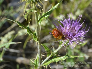 THISTLE AND TACHINID