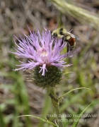 THISTLE AND TRICOLORED BUMBLE BEE