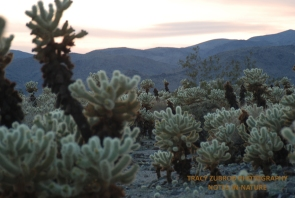 CALIFORNIA CHOLLA AROUND 4000 FEET