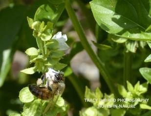 HONEYBEE AND BASIL