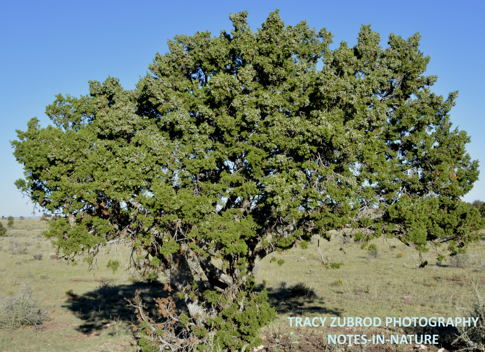 The distinct juniper tree notes in nature for The juniper