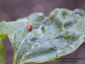 LADY BEETLE ON SUNFLOWER