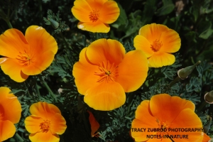 MEXICAN POPPY