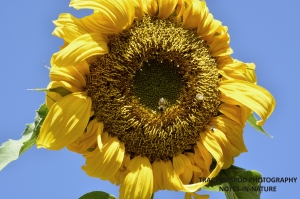 SUNFLOWER AND HONEYBEES