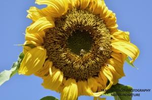 SUNFLOWER AND HONEYBEES