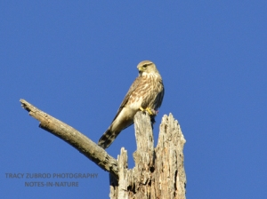 MERLIN-PRAIRIE SUBSPECIES
