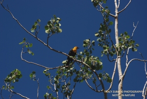 YELLOW HEADED BLACKBIRD MALE