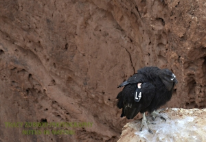 CALIFORNIA CONDOR- IMMATURE AT MARBLE CANYON