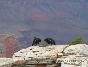 CALIFORNIA CONDORS AT THE GRAND CANYON