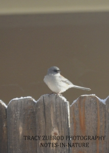 GRAY HEADED JUNCO