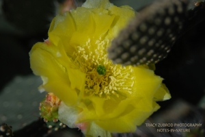 BLOOMING PORCUPINE PRICKLY PEAR
