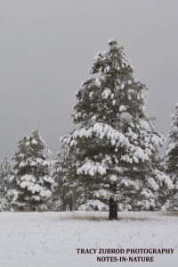 SNOWY PONDEROSAS