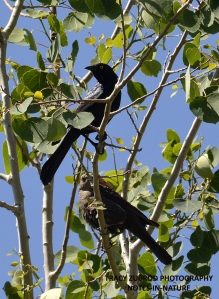 BREWERS BLACKBIRDS MALE & FEMALE