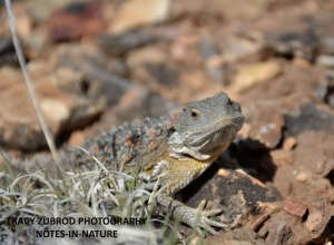 SHORT HORNED LIZARD