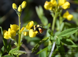 TRICOLORED BUMBLE BEE