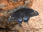 WESTERN BLACK SWALLOWTAIL