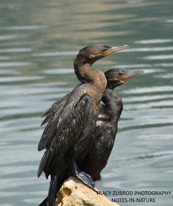 DOUBLE CRESTED CORMORANTS