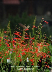 FIRECRACKER PENSTEMON AND FEMALE RUFOUS HUMMINGBIRD