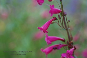 PERRY PENSTEMON