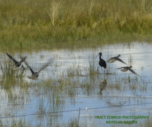 WHITE-FACED IBIS WITH DUCKS