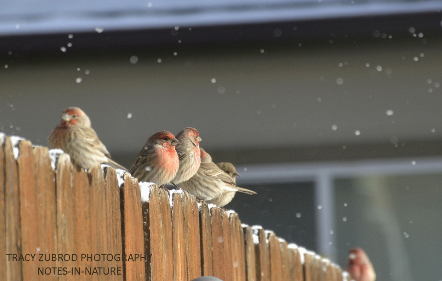 finches-and-snow-1