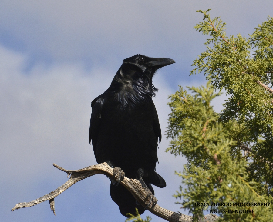 raven-gc