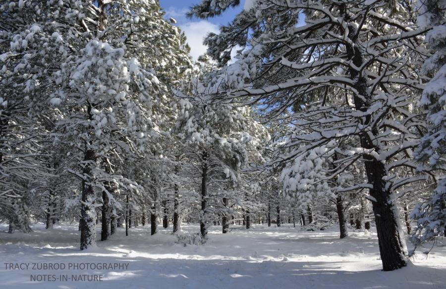 snowy-ponderosas-4