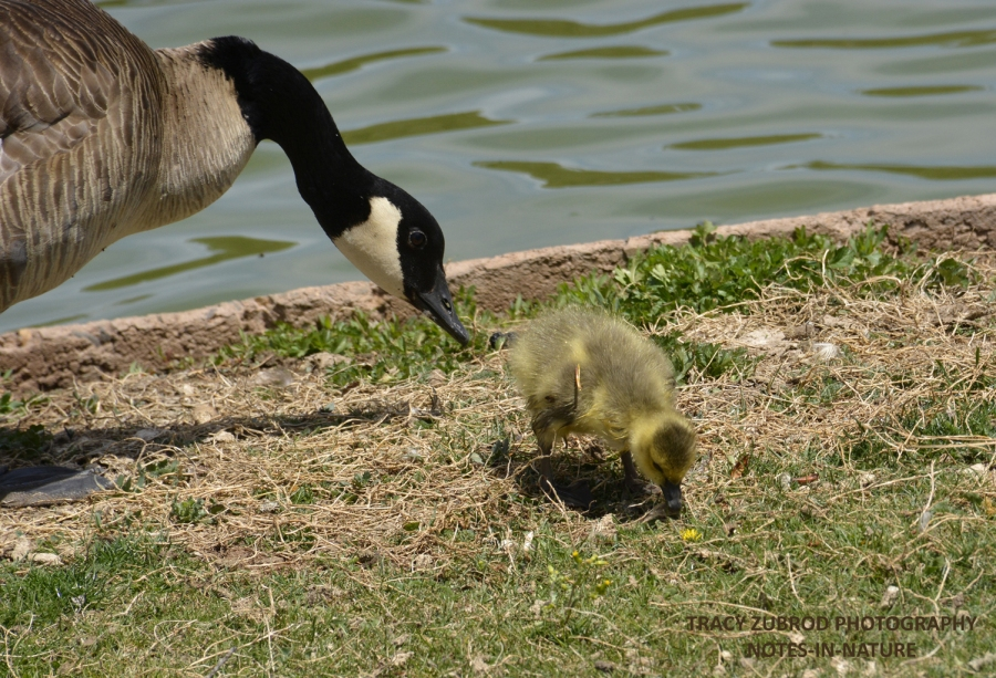 CANADA GOOSE AND CHICK