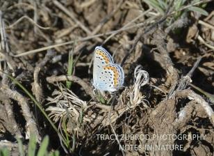 MELISSA BLUE BUTTERFLY