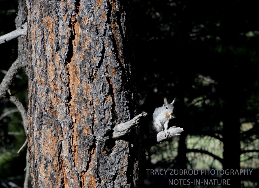 ABERT SQUIRREL-1