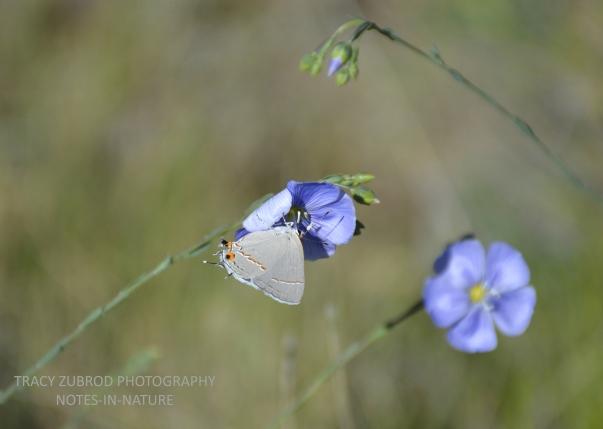 GRAY HAIRSTREAK & WILD BLUE FLAX