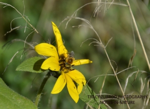 WILD SUNFLOWER AND A HONEYBEE
