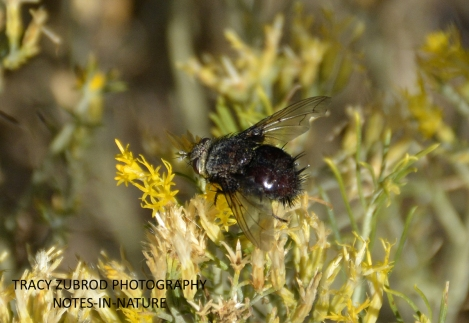 WARBLE FLY