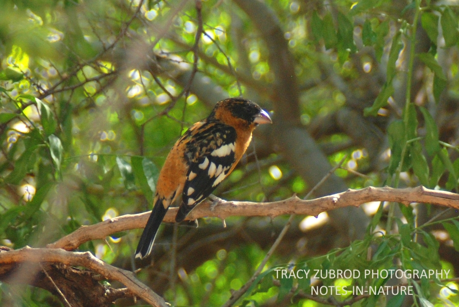 BLACK-HEAEDED GROSBEAK
