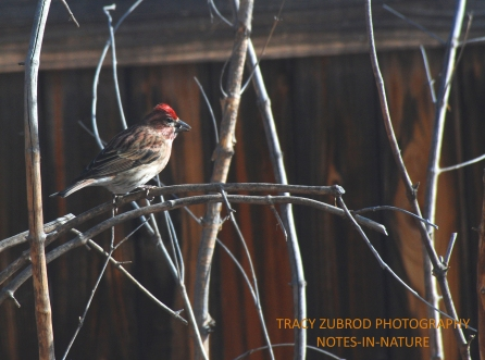 CASSIN'S FINCH-MALE