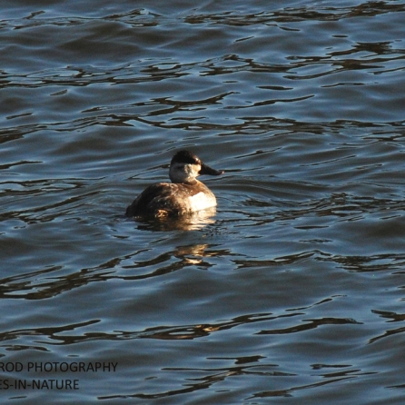 RUDDY DUCK FEMALE