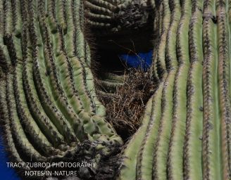 SAGUARO CACTUS WITH BIRD NEST