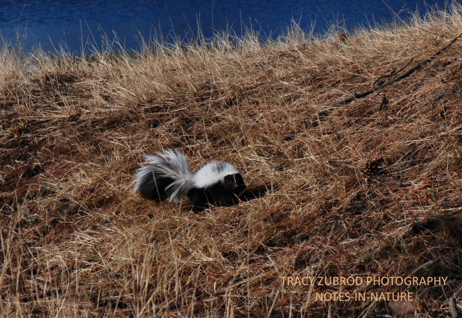 STRIPED SKUNK-1