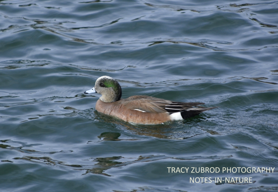 AMERICAN WIGEON-MALE-1