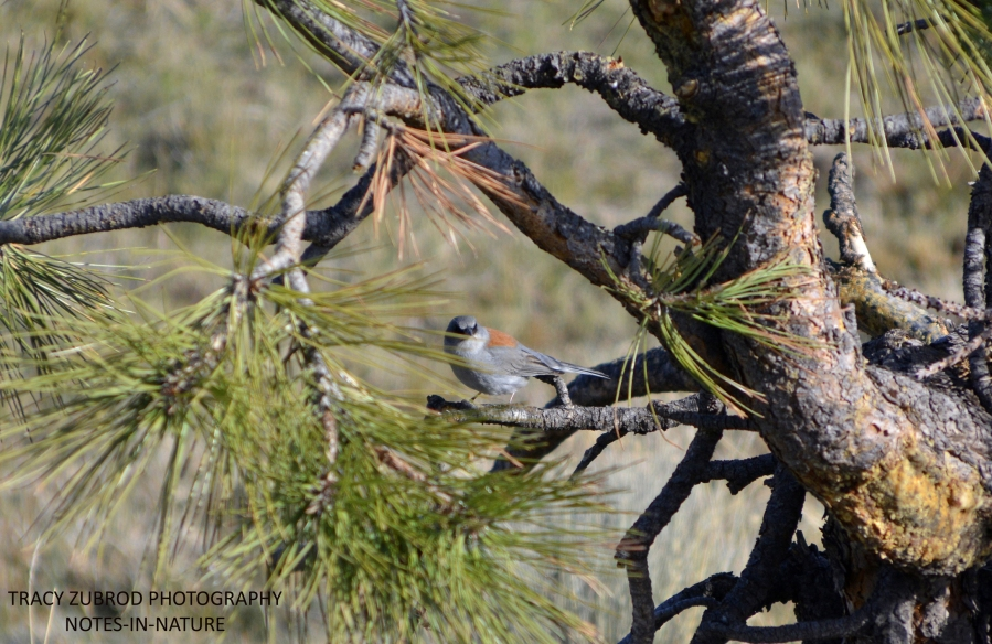GRAY-HEADED JUNCO-2